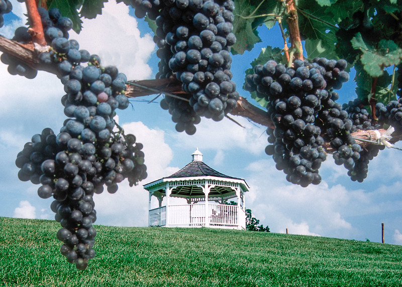 grapes and gazebo.jpg