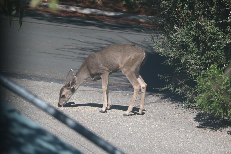 A deer eating bird seed on driveway