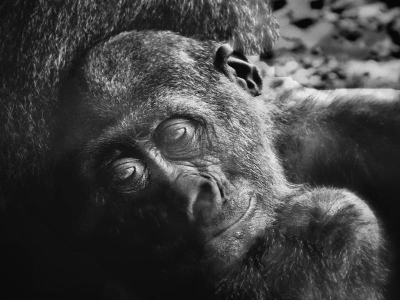 Baby  gorilla with mom.jpg