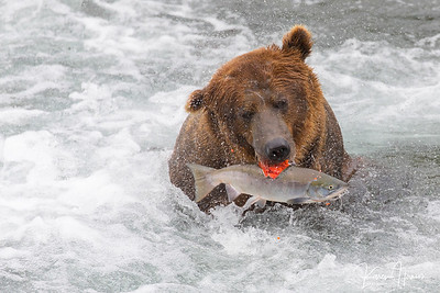 Brown Bears - Alaska