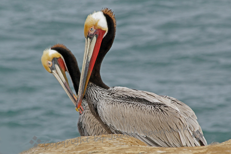 Pelican Valentine ~ The two pelicans looked just right for Valentine's Day.