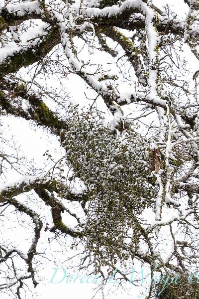 Misteltoe in the oaks with snow_4194.jpg
