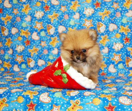 Sold Puppy #  POM 964 SOLD TO RHONDA W.