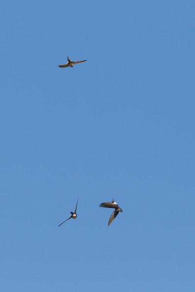 White-throated Swift - Big Sur, CA, USA