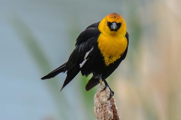 6 2013 Jun 1 Yellow-headed Blackbirds Male & Female