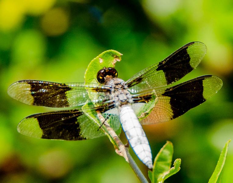 Sunning_Dragonfly.jpg