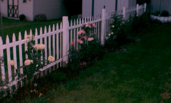 Roses on the fence.jpg