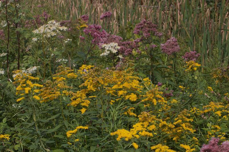 wildflowers Nichols Lake Road IMG_8995.jpg