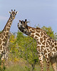 Giraffe - Selous