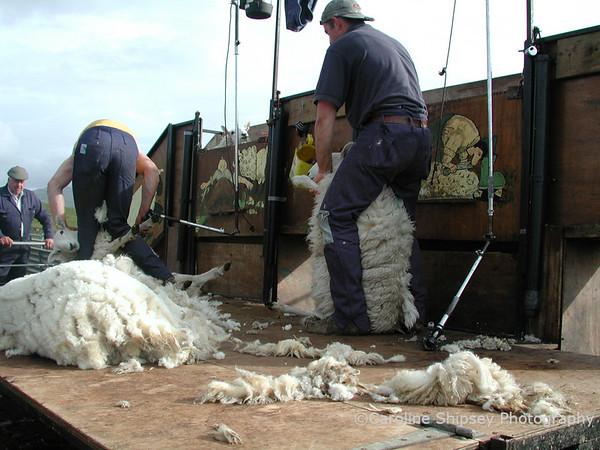 Shearing - Isle of Skye