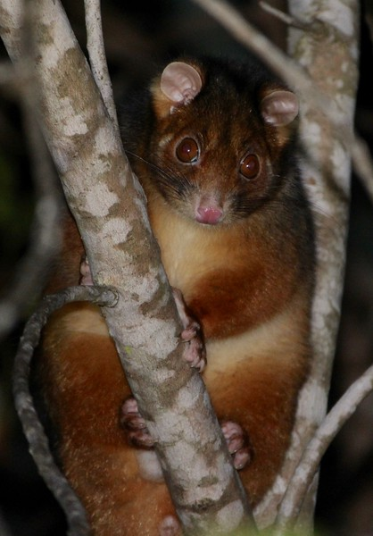 Common ringtail possum, Queensland, Australia
