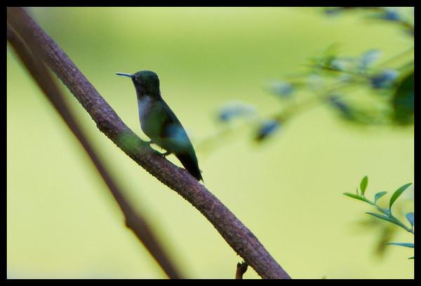 hummingbird Aug 12