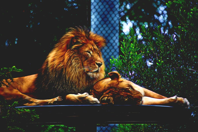 T_Lion and Lioness SDZ_edited-1.JPG