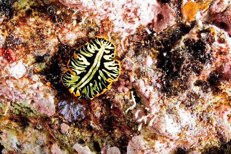 Tiger Flatworm 2.jpg