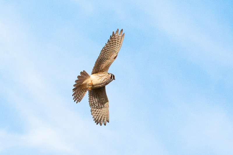 Kestrel!  A lifer for me in the wild.