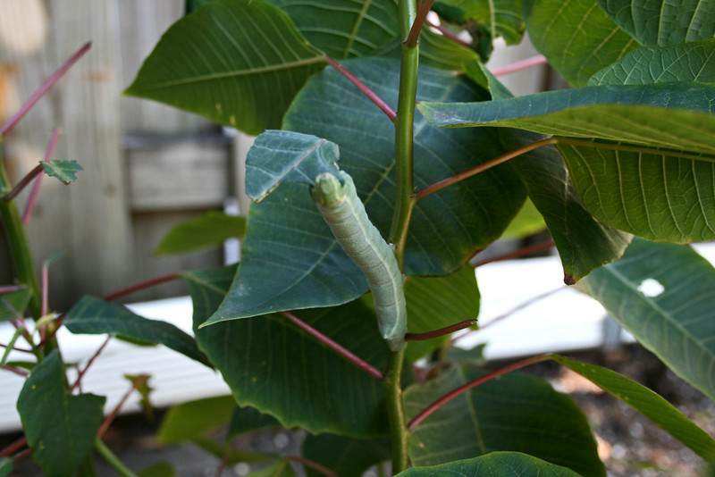 Caterpillar, which will eventually be an Ello Sphinx Moth (Erinnyis ello)  (November 18, 2006)