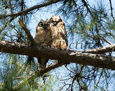 Owl  101