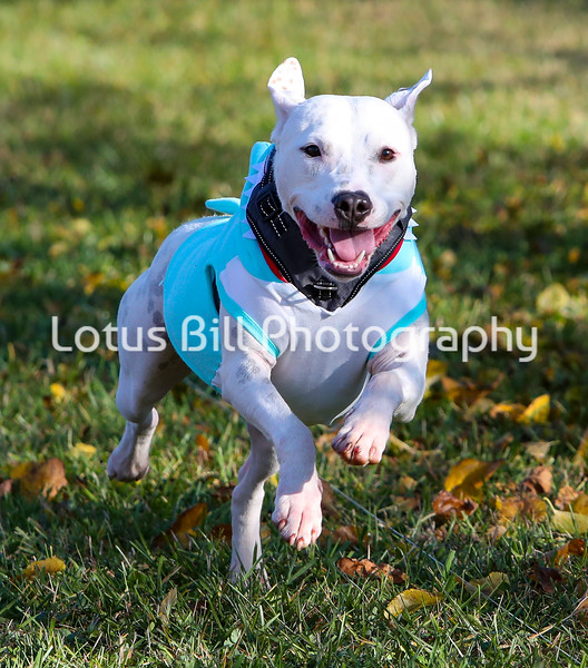 Eddison White American Staffordshire Terrier SR31