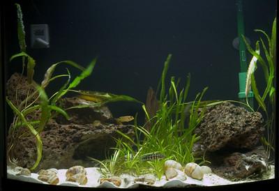 26 gallon bowfront aquarium: cichlids and plants