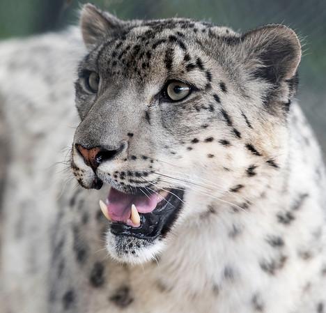 DAVID LIPNOWSKI / WINNIPEG FREE PRESS  Snow Leopard at the Assiniboine Park Zoo Sunday May 22, 2016.