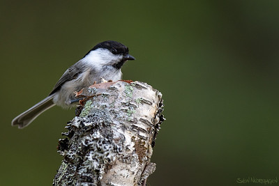 Granmeis (Willow Tit)