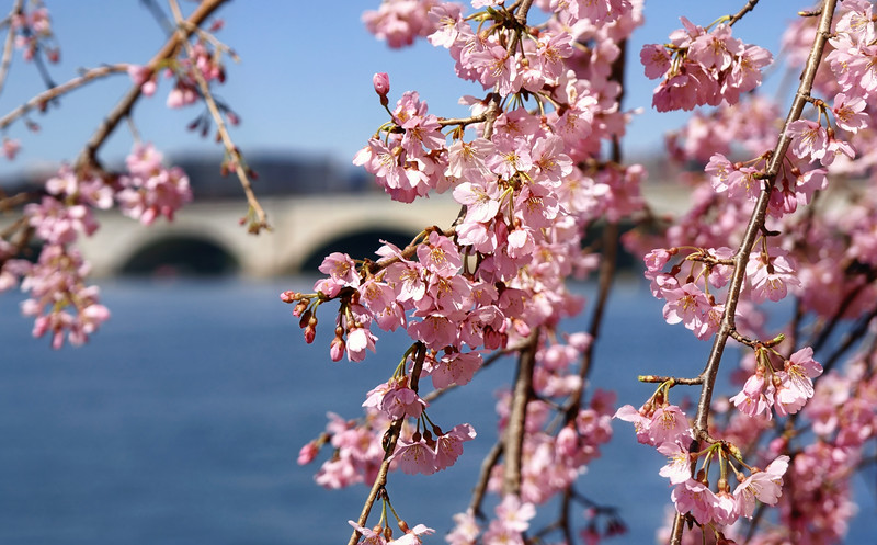 Early cherry blossoms along the Potomac River.