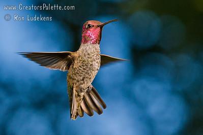 Hummingbirds - Frenetic Poetry in Motion