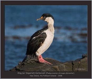 King Cormorant
