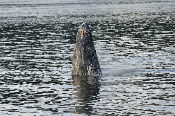 Breaching Humpback Whales 2014