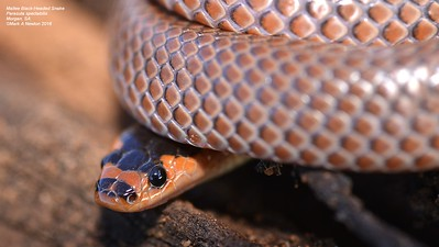 Parasuta spectabilis (Mallee Black-Headed Snake)