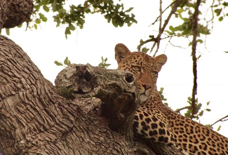 Leopardess - Swenson