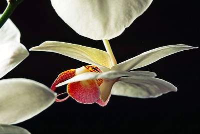 Variations on Phalaenopsis