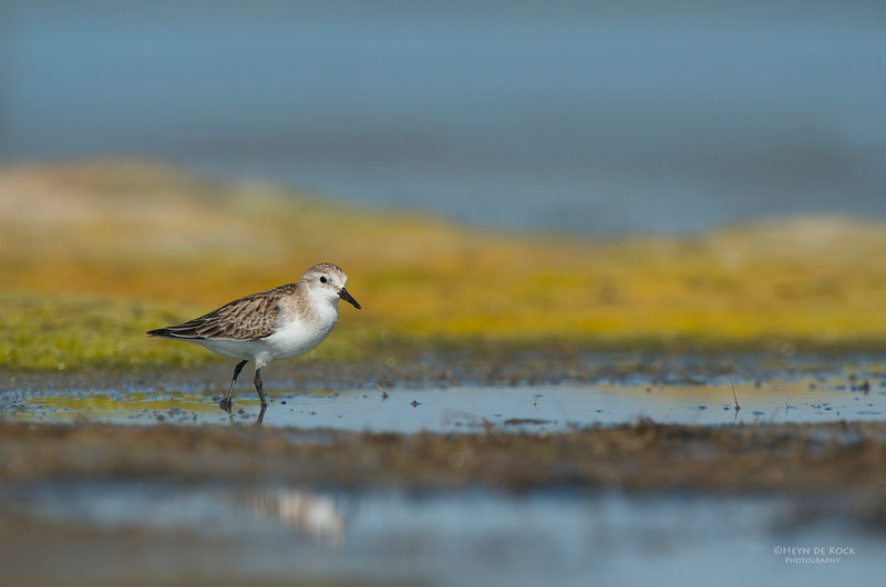Red-necked Stint, Lake Wolumboola, NSW, Aus, Nov 2013-1.jpg