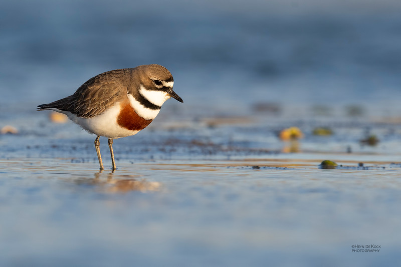 Double-banded Plover, Christchurch, SI, NZ, Sep 2018-1.jpg