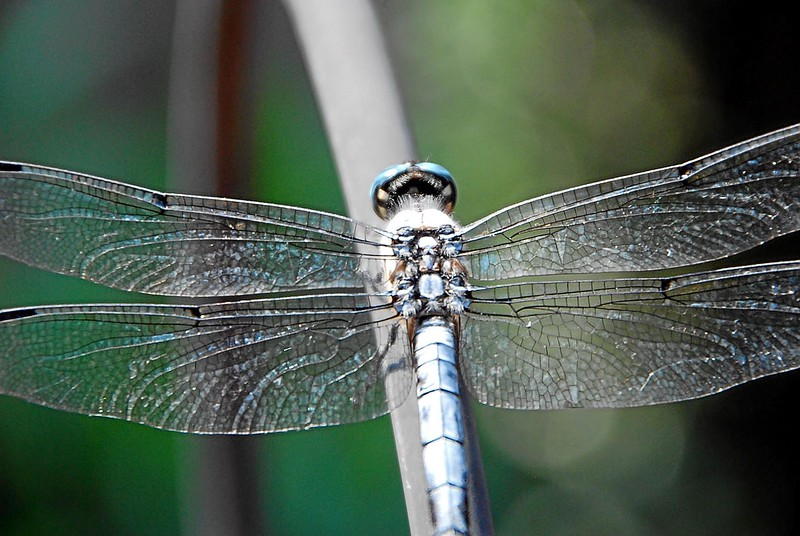 Dragon_fly_05.jpg