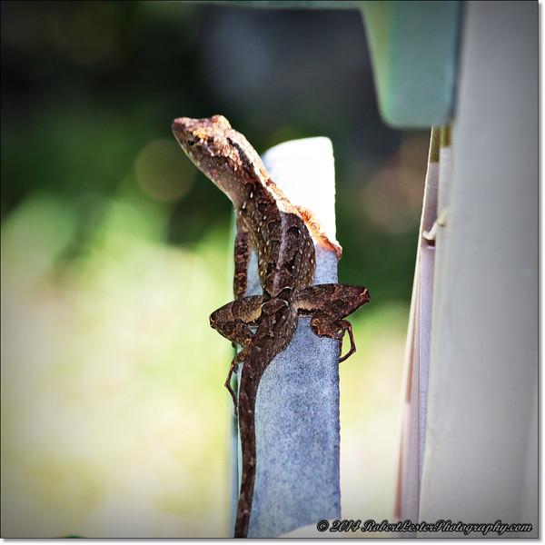 2014-06-06_IMG_0860__Anole Lizard,Clearwater,Fl..JPG