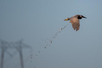 2021_6_28 Black crowned night heron