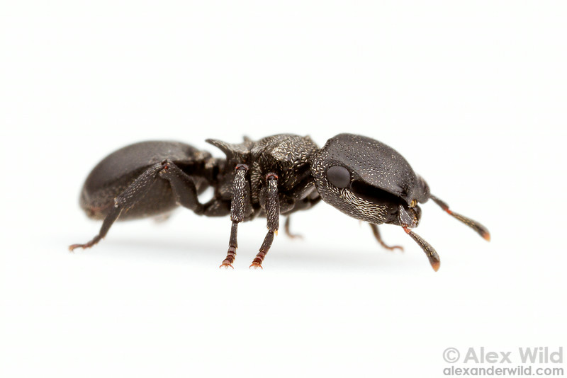 """Cephalotes pusillus - turtle ant, major worker. The deep recesses on the head (the """"scrobes"""") allow the ant to fully retract her delicate antennae.  Carrancas, Minas Gerais, Brazil"""