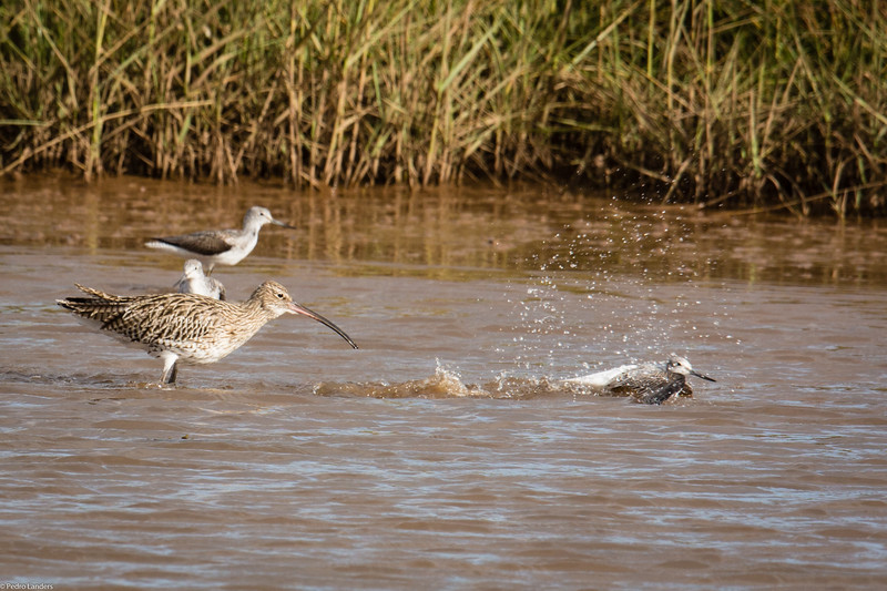 Curlew and Greenshank