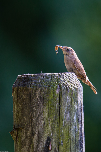 House Wren with Lunch.jpg