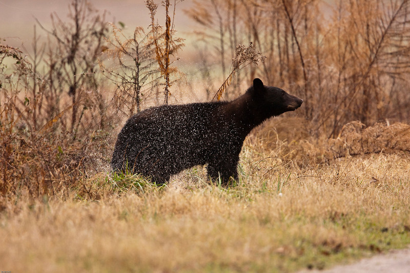 Black bear shaking off water