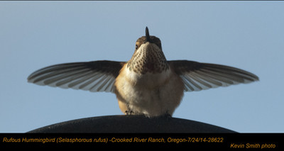 Rufous Hummingbird 28622.jpg