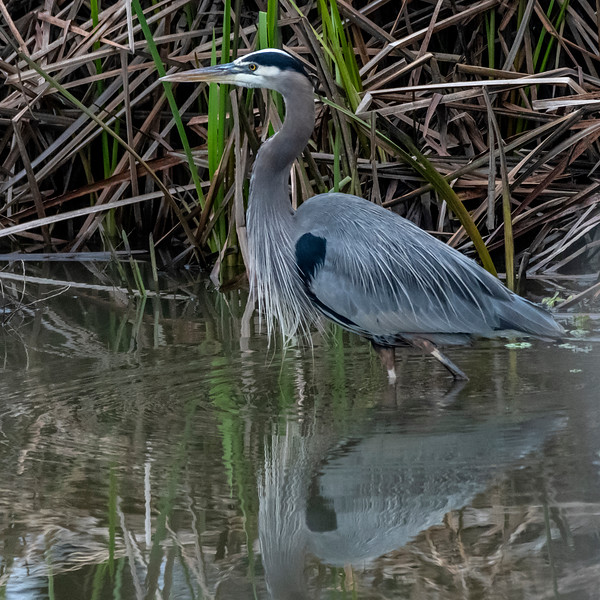 _DSC7779Great Blue Heron.jpg