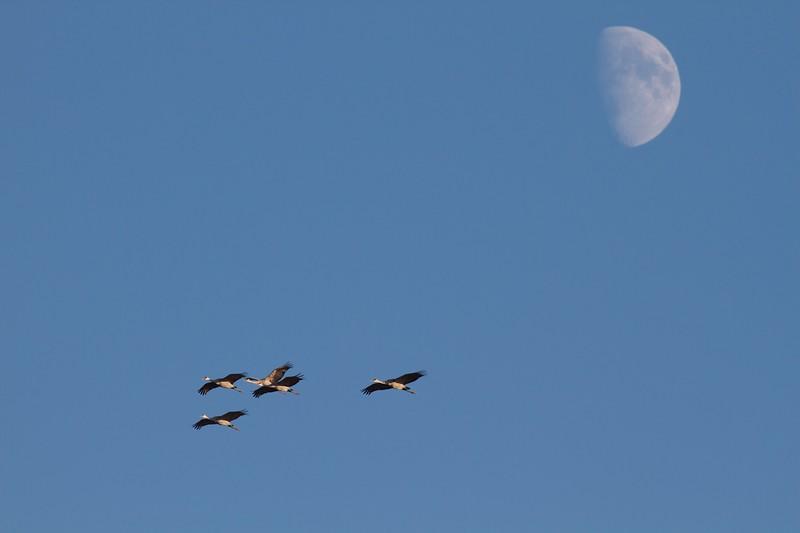 Sandhill Cranes and moon Crex Meadows WI IMG_0015461.jpg