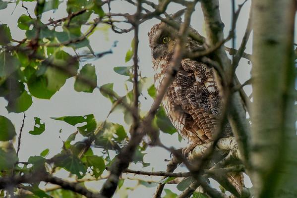 7-2-16 *^Long-eared Owl