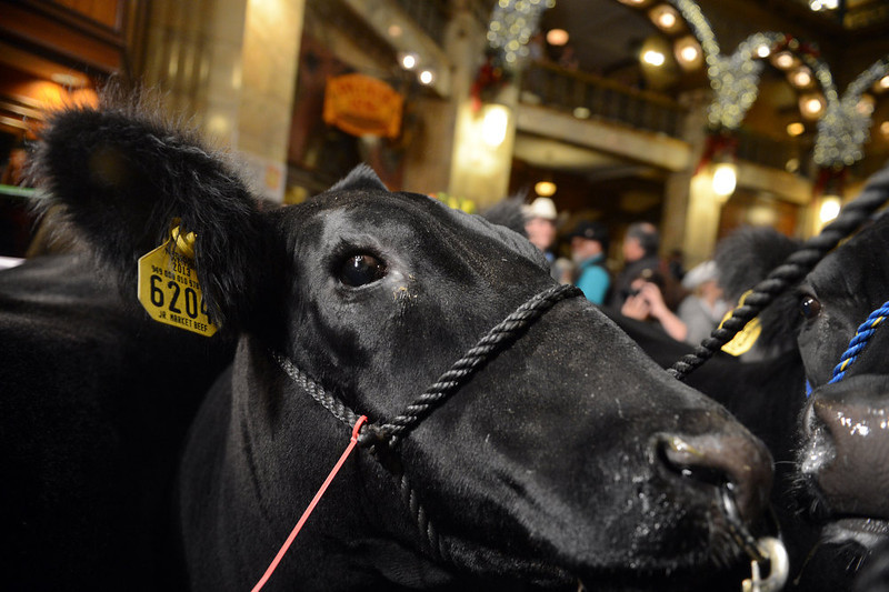 . DENVER, CO. - JANUARY 25:  The National Western Stock Show\'s Grand Champion, Trevor, was on display at the Brown Palace Hotel & Spa in Denver, CO, January, 25, 2013. The Grand Champion, weighing in at 1335 lbs. was raised by Shilo Schaake of Westmoreland, KS. The Reserve Grand Champion, Nick, 1275 lbs, was also shown by  Jessica Webster of Runnells, IA.  The skittish champions were joined by a third steer, Willie, right, raised by Lauren May, of Mineral Point, WI, for moral support. (Photo By Craig F. Walker / The Denver Post)