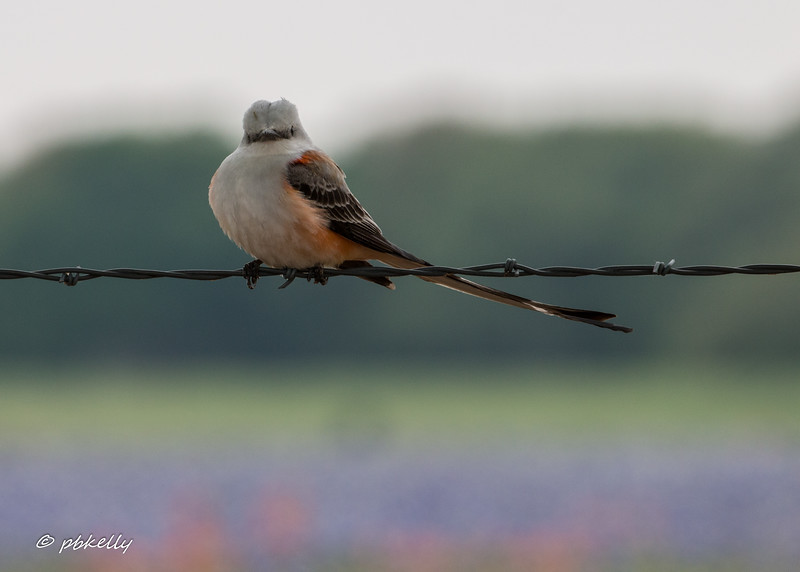 Really wanted to bring one of these Scissors-tailed Flycatchers home.