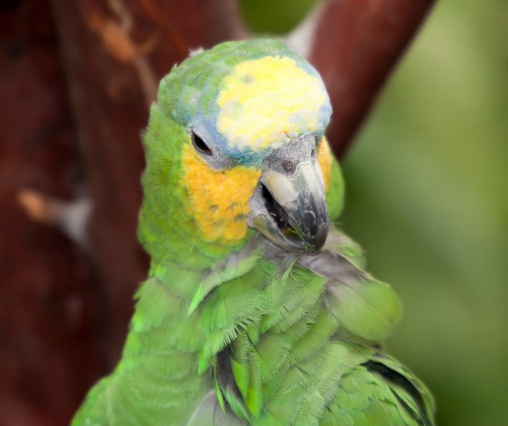 Orange-Winged Amazon Parrot Portrait - Amazona amazonica