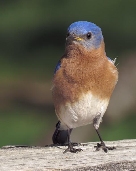 sx50_bluebird_206.jpg
