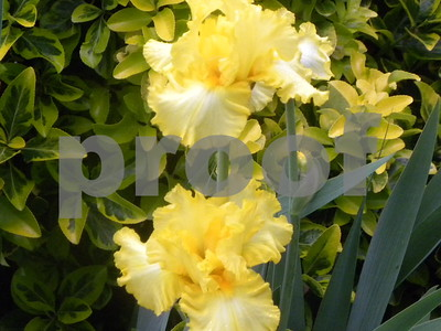 irises-make-annual-appearance-in-april